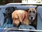 Dogs in Hot Car